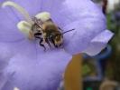 Bienen004