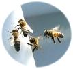 Bienen006