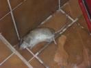 Ratten006