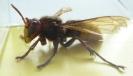Hornissen001